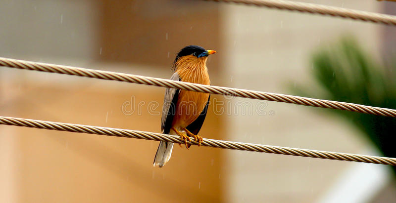 Starling Bluebeak !!! fotografia stock libera da diritti