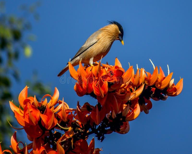 starling brahminy zdjęcie royalty free