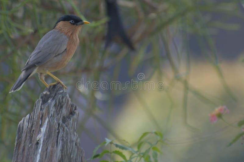 Starling Brahminy lizenzfreie stockfotografie