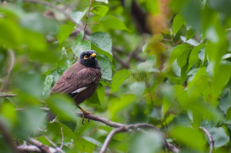 Starling with yellow beak brown on green tree. A starling on the branch of a tree. A bird with yellow beak in the rainforest royalty free stock image