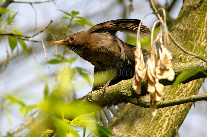 Starling on branch. A watchful Sturnus vulgaris starling on branch in spring stock photography