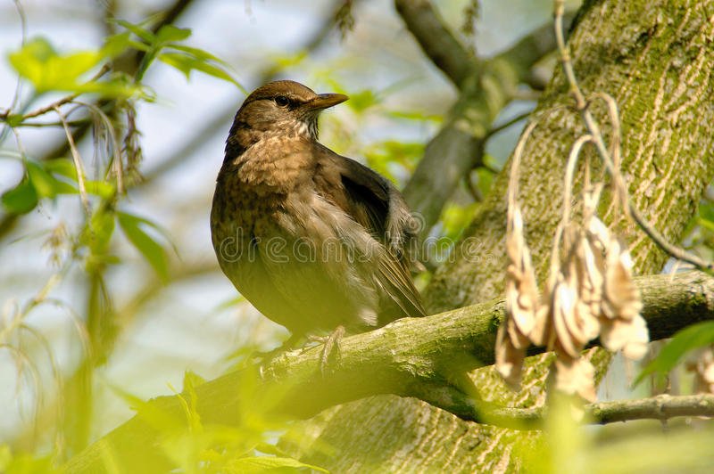 Starling on branch. A watchful Sturnus vulgaris starling on branch in spring stock images