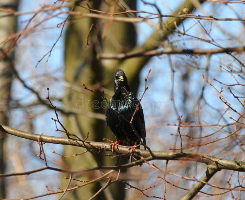 Starling che si siede su una filiale fotografia stock