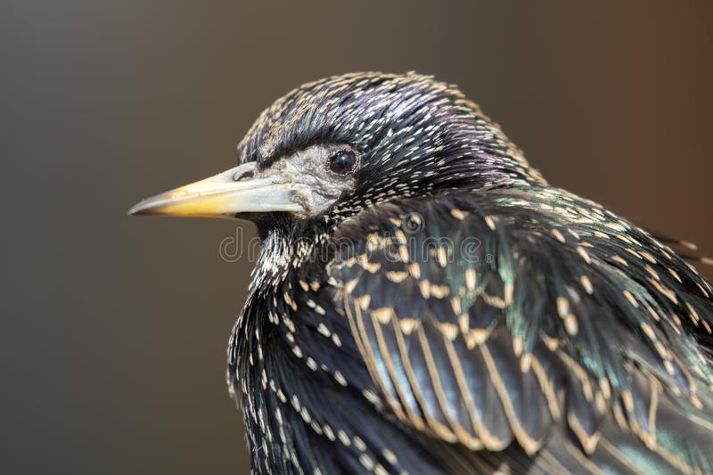 Starling. A Starling close up with a blurry background royalty free stock photo
