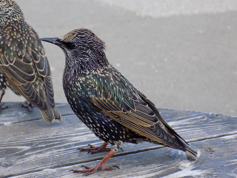 Starling. Close up of a Starling showing its beautiful plumage royalty free stock photography