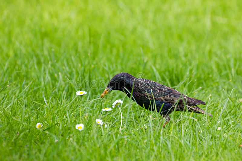 Starling Collecting Food stock fotografie