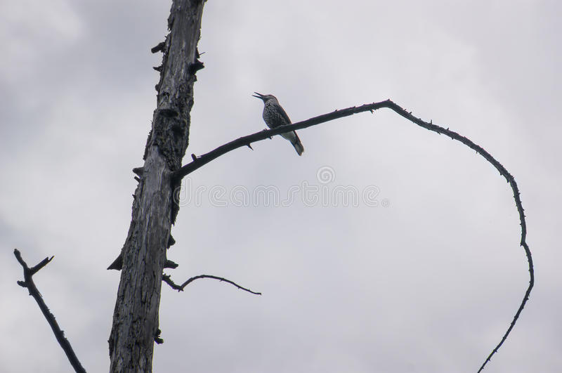 Starling commun, Sturnus vulgaris photographie stock libre de droits