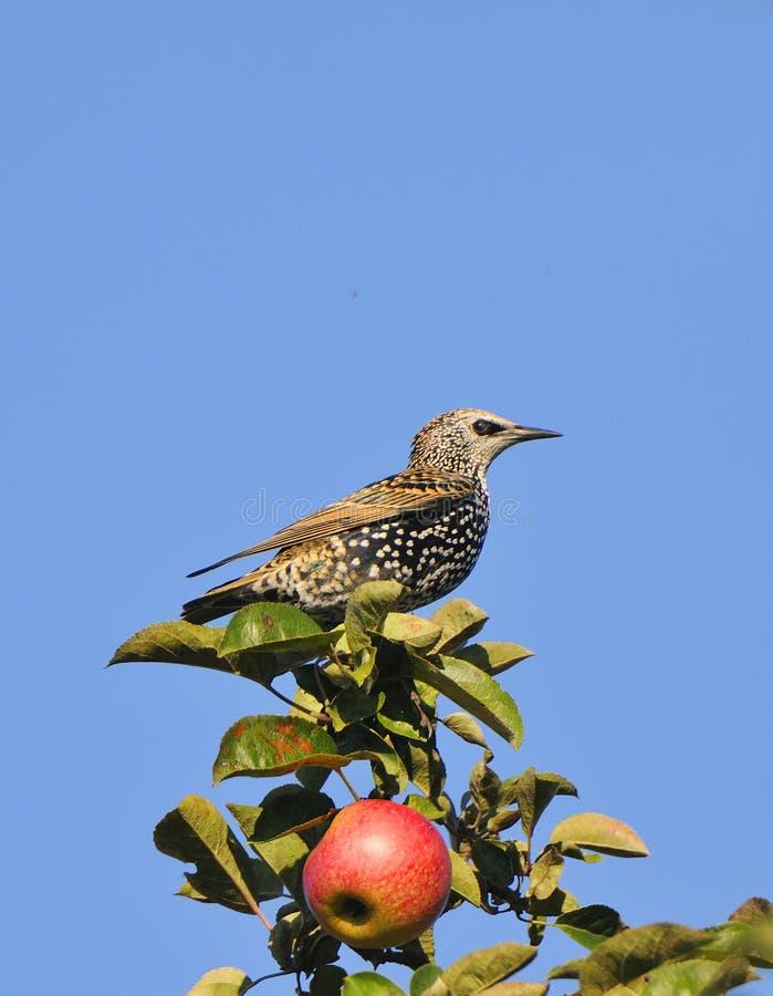 Starling comum imagem de stock