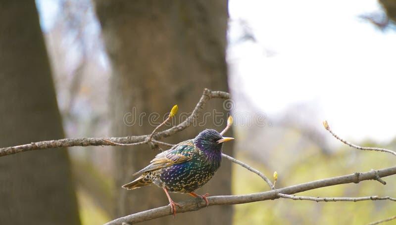 Starling comune fotografie stock libere da diritti