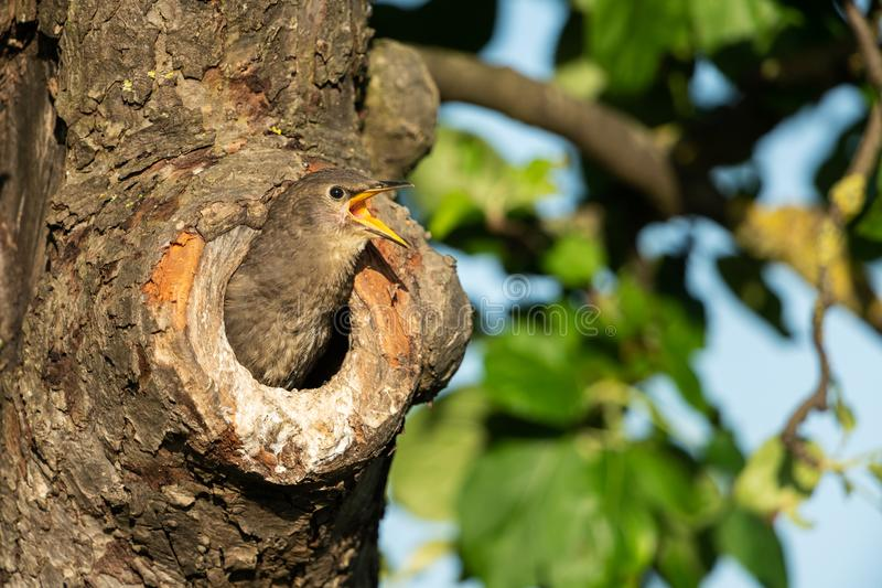 Starling comune fotografie stock