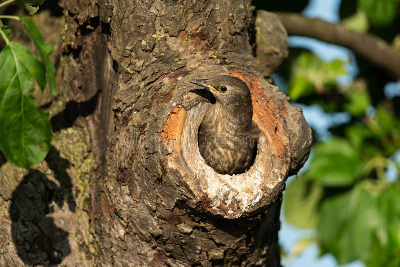 Starling comune immagine stock