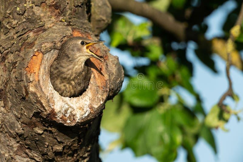 Starling comune immagine stock libera da diritti