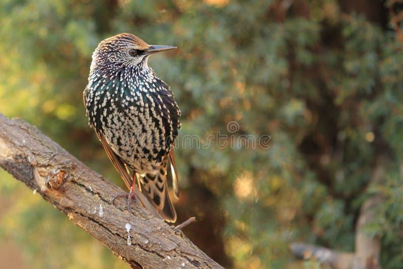 Starling comune fotografia stock