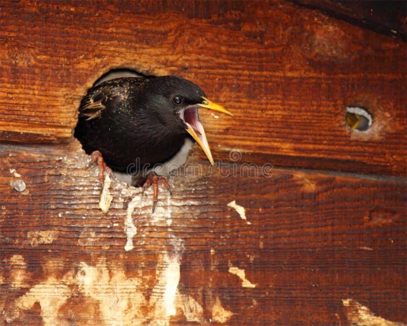 Starling Defending Nest stock afbeeldingen