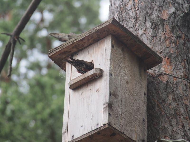 Starling dichtbij het vogelhuis Kunstmatige bird& x27; s nest royalty-vrije stock afbeelding