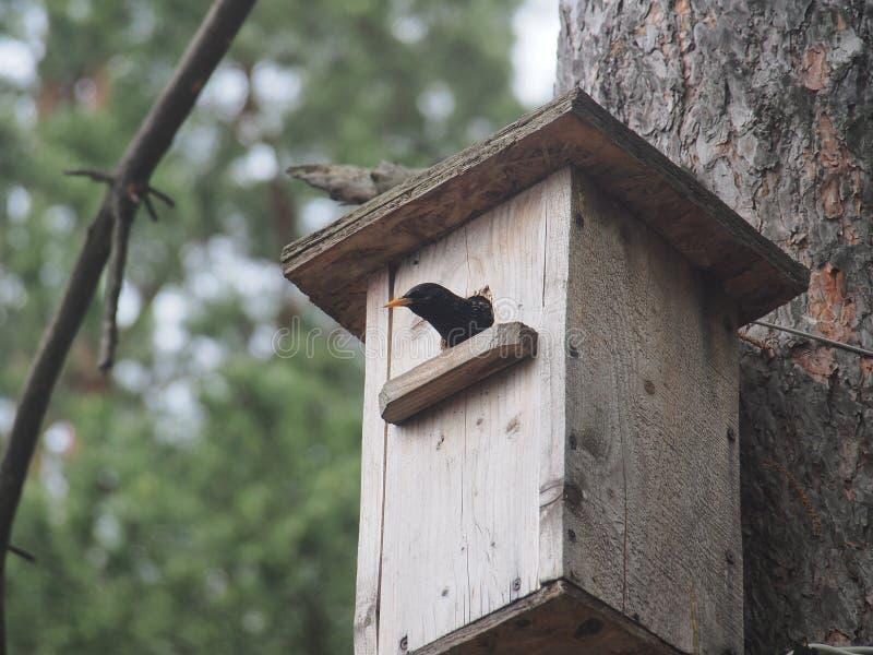 Starling dichtbij het vogelhuis Kunstmatige bird& x27; s nest stock afbeeldingen
