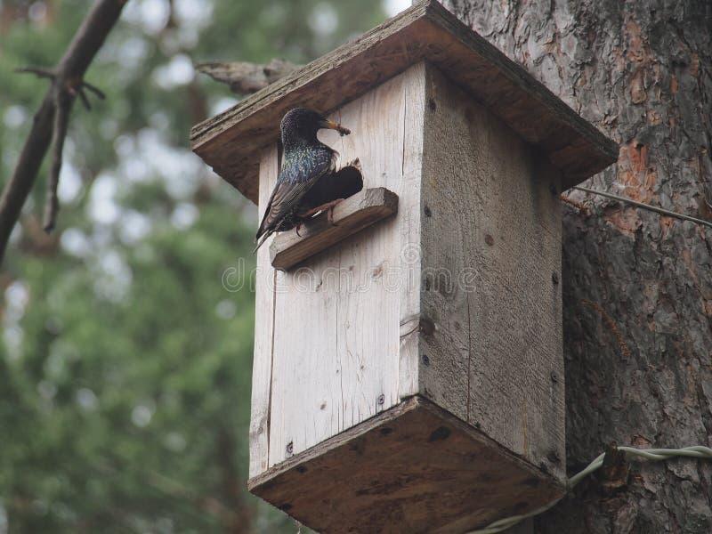 Starling dichtbij het vogelhuis Kunstmatige bird& x27; s nest stock foto's