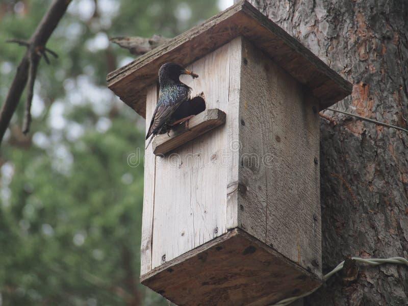 Starling dichtbij het vogelhuis Kunstmatige bird& x27; s nest royalty-vrije stock afbeeldingen