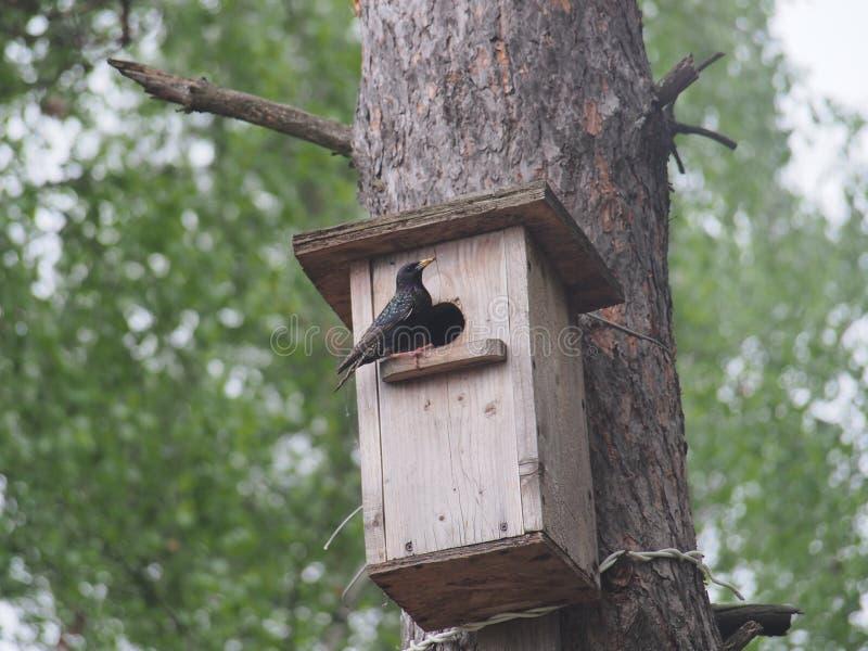 Starling dichtbij het vogelhuis Kunstmatige bird& x27; s nest stock foto