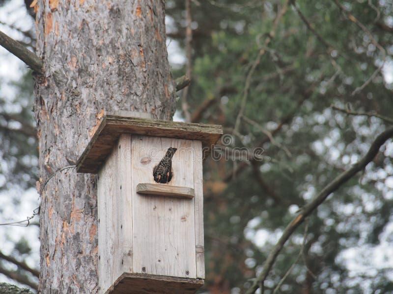 Starling dichtbij het vogelhuis Kunstmatige bird& x27; s nest royalty-vrije stock foto's