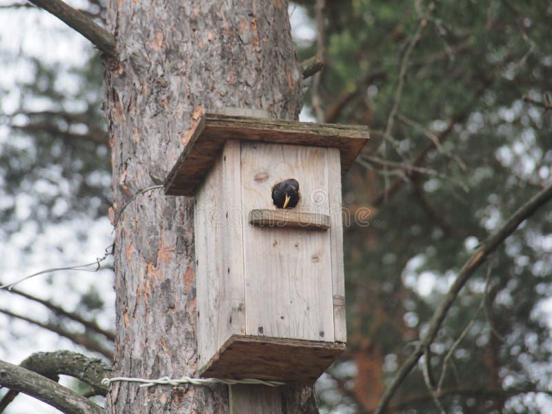 Starling dichtbij het vogelhuis Kunstmatige bird& x27; s nest royalty-vrije stock fotografie