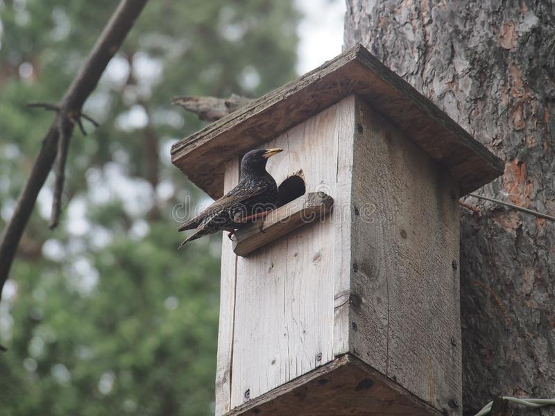 Starling dichtbij het vogelhuis Kunstmatige bird& x27; s nest royalty-vrije stock foto