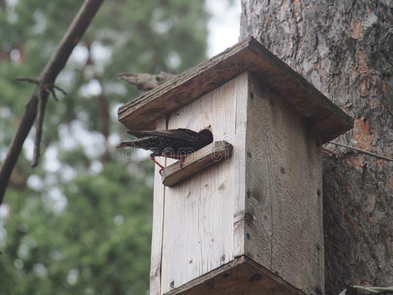 Starling dichtbij het vogelhuis Kunstmatige bird& x27; s nest stock afbeelding