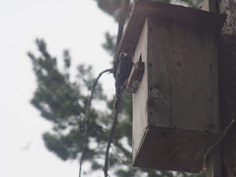 Starling dichtbij het vogelhuis Het nest van de kunstmatige vogel royalty-vrije stock foto