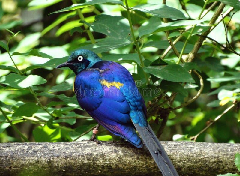 Starling Dorato-breasted fotografia stock