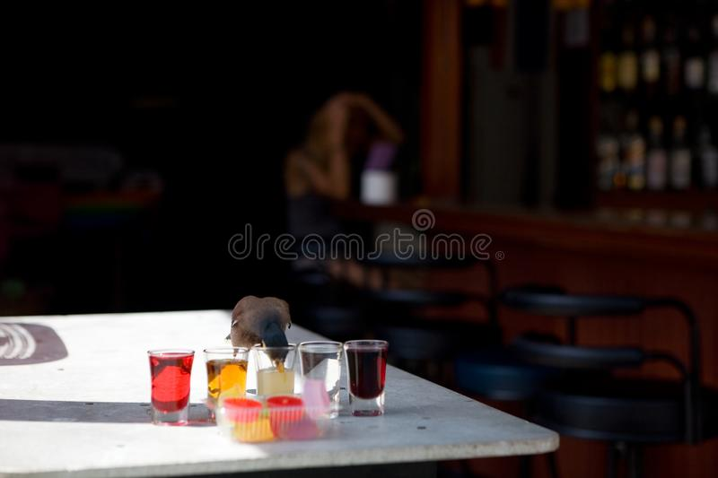 Starling drinks from a glass on a table in a bar. In the background, out of focus, a young woman preens royalty free stock image