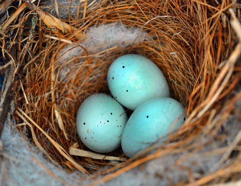 Starling Eggs immagine stock