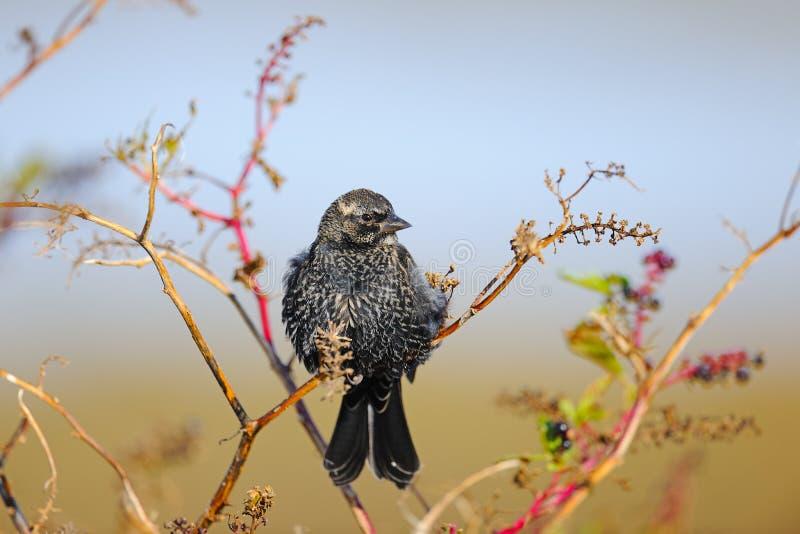 Starling Européen Photographie stock libre de droits