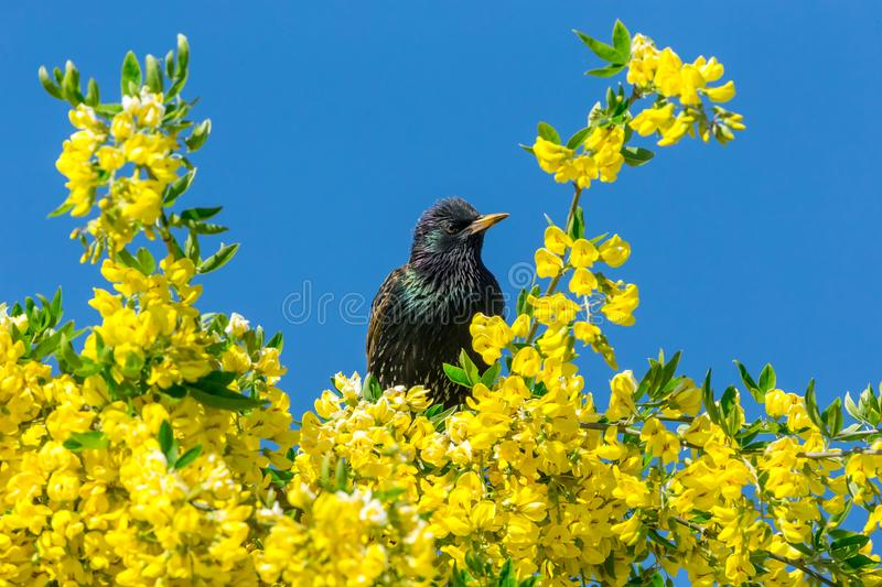 Starling, European Starling, perched in laburnum tree with yellow flowers. Starling, Scientific name: Sturnus Vulgaris. perched in Laburnum Tree with bright stock photos