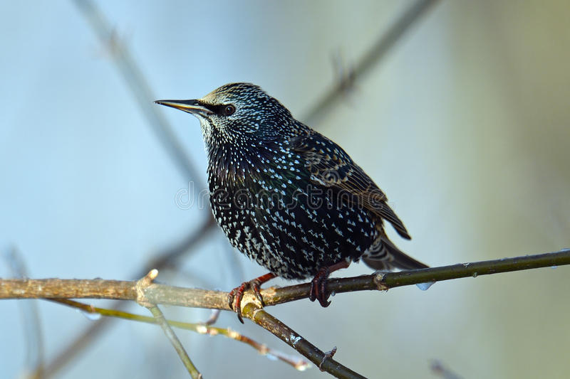 Starling europeo fotografie stock