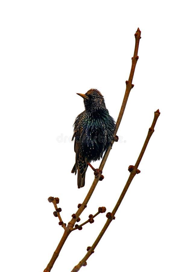 Starling europeo immagine stock