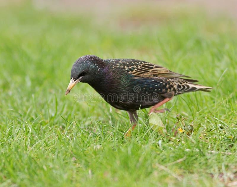 Starling europeo immagini stock