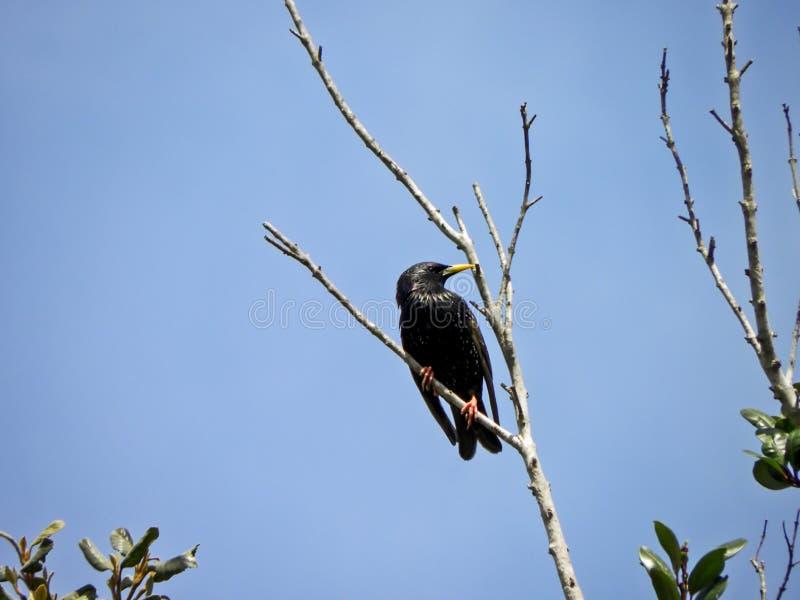 Starling europeo fotografia stock