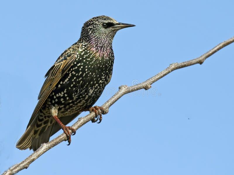 Starling europeo fotografie stock
