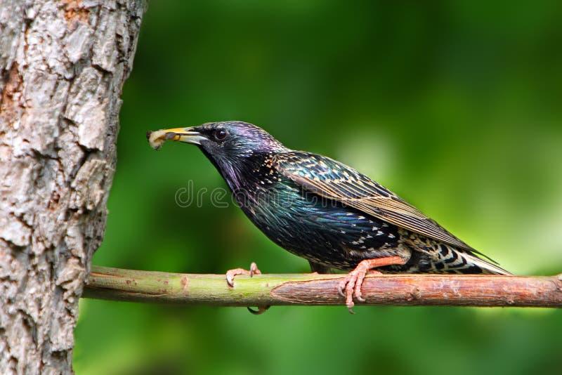 Starling europeo sulla filiale. fotografie stock