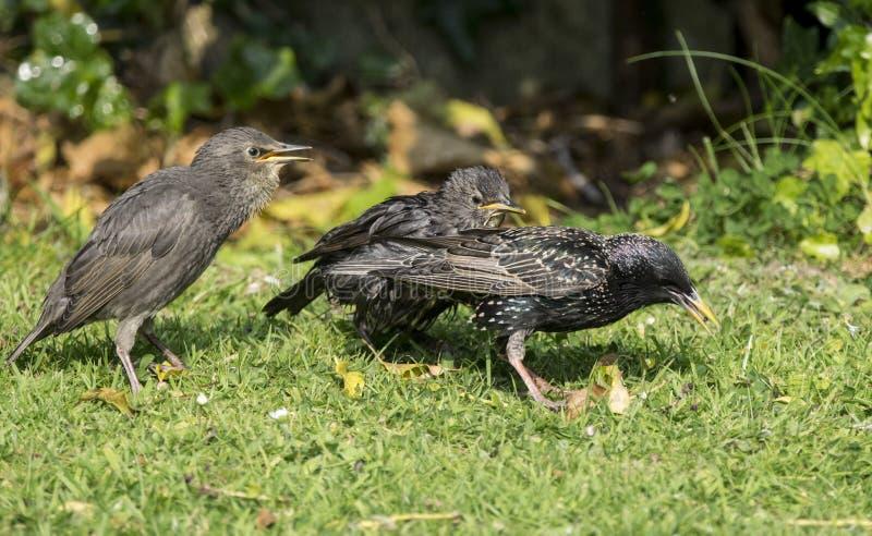 Starling Family immagini stock