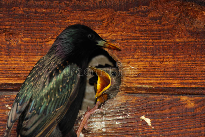Starling Feeding Babies arkivbild