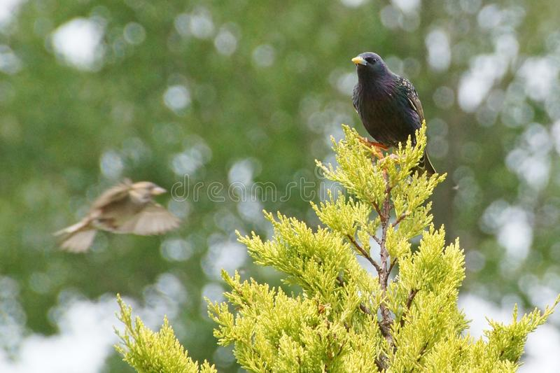 Starling on a fir tree stock image