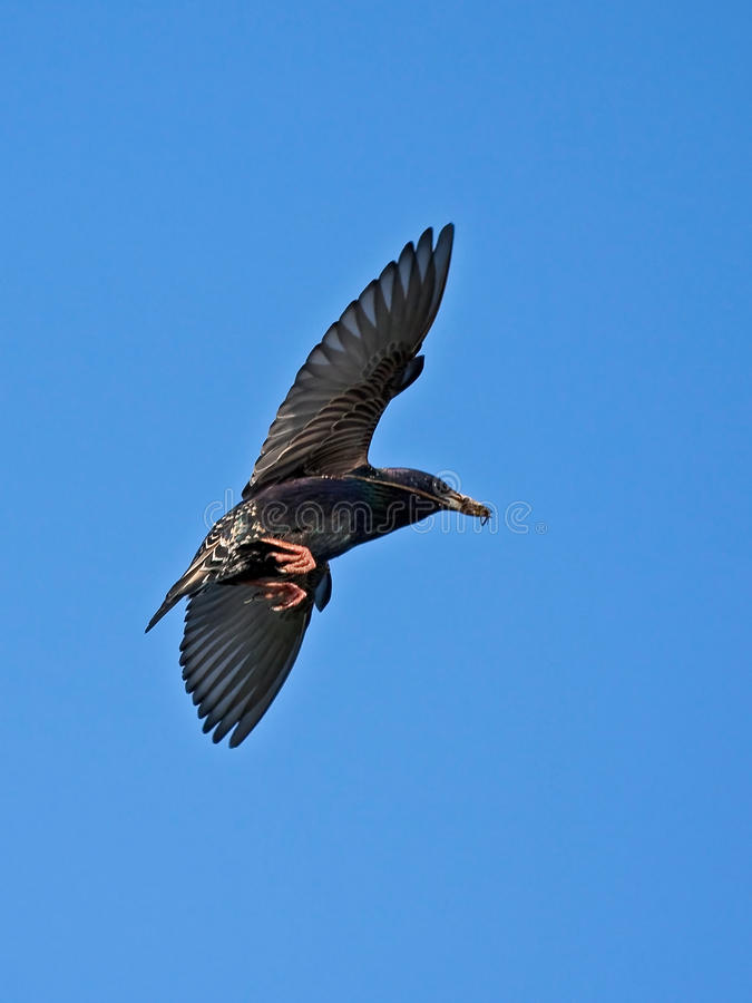 Download Starling In Flight Royalty Free Stock Photography - Image: 17538127