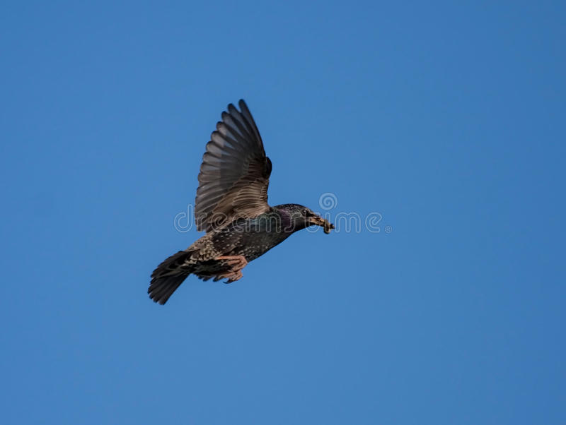 Download Starling in flight stock image. Image of summer, feathers - 17538141