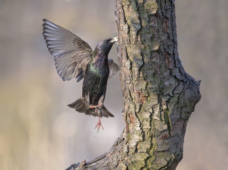 A jumping starling stock image