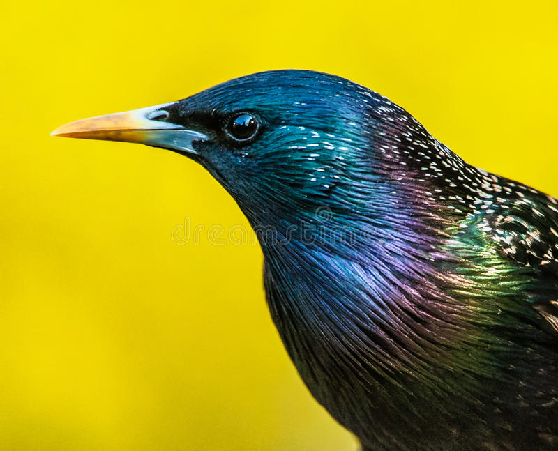 Starling and Forsythia stock images