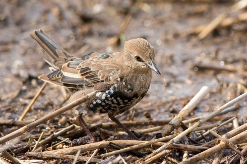 Starling giovanile fotografia stock libera da diritti