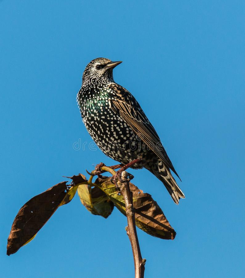 The starling in the great oak. The starling on the top of the great oak, observes the landscape stock image