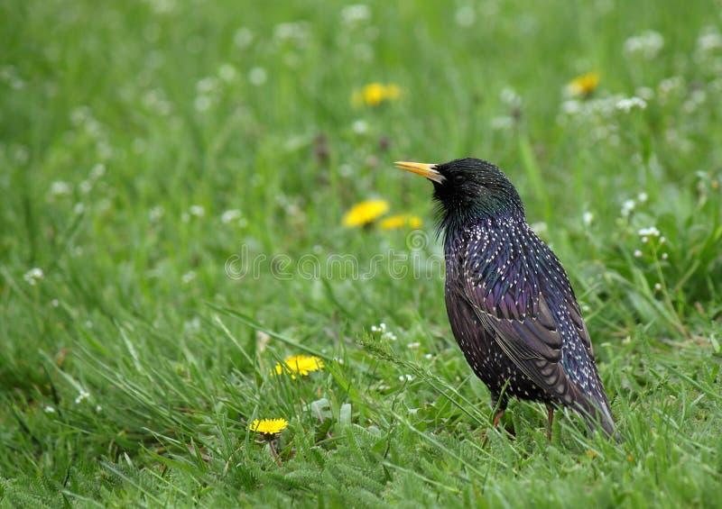 Starling In Groen Gras Stock Afbeelding