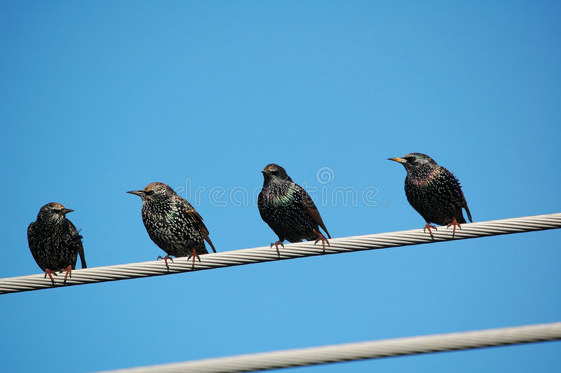 starling grupowe obrazy royalty free